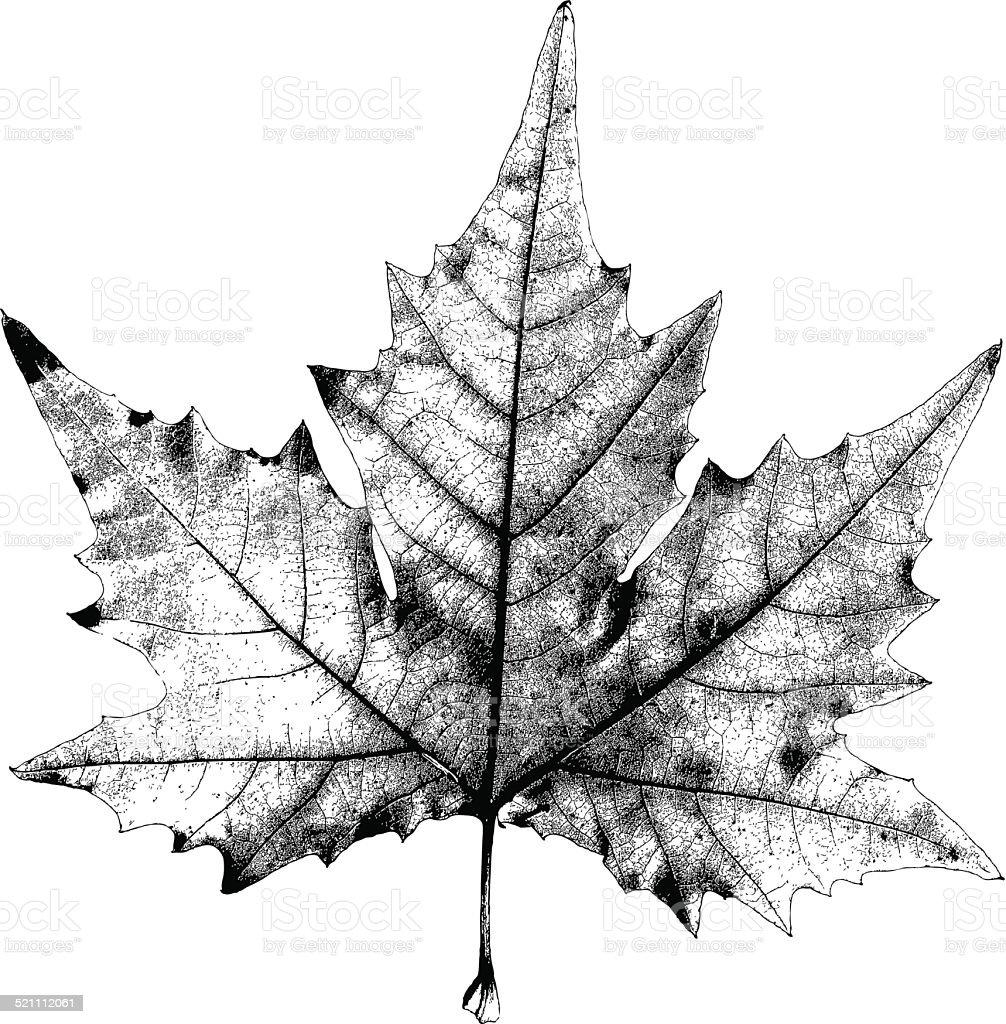 Dry Maple Leaf-Illustration – Vektorgrafik