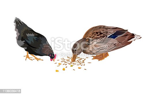 Duck and chicken pecking grain. Vector illustration isolated on the white background