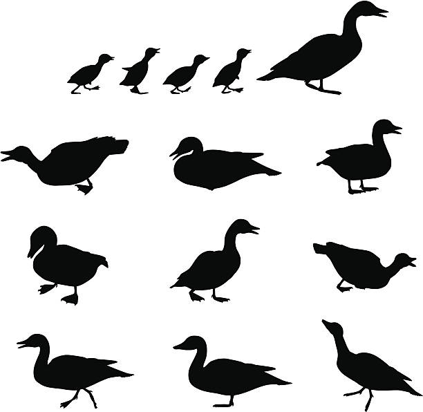 Duck on Land Collection of duck silhouette images. All stock illustrations contained in this set are thoughtfully created to represent actual duck behavior. Enjoy. duckling stock illustrations