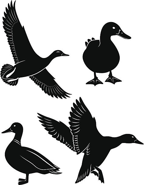 duck the figure shows the duck bird hunting stock illustrations