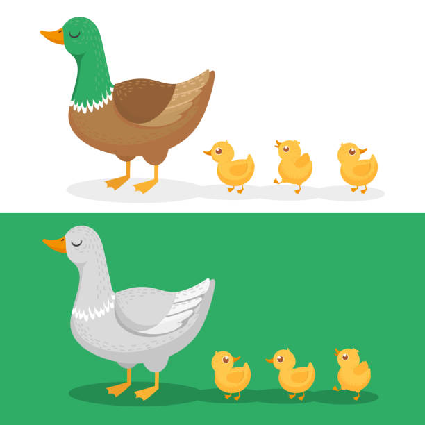 Ducklings and mother duck. Ducks family, duckling following mom and walking mallard baby chicks group cartoon vector illustration Ducklings and mother duck. Ducks family, duckling following mom and walking mallard baby chicks group. Wild goose family, farm bird with chick cartoon vector illustration set duckling stock illustrations