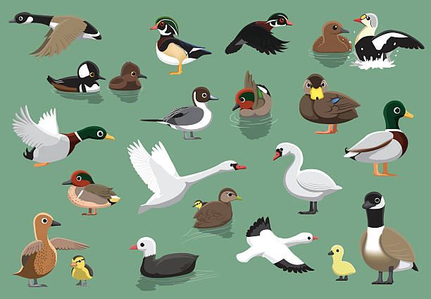 US Ducks Cartoon Vector Illustration Animal Cartoon EPS10 File Format snow goose stock illustrations