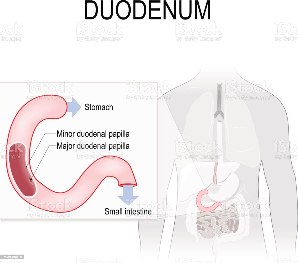 Duodenum Anatomy Stock Vector Art & More Images of Anatomy 645056618 ...
