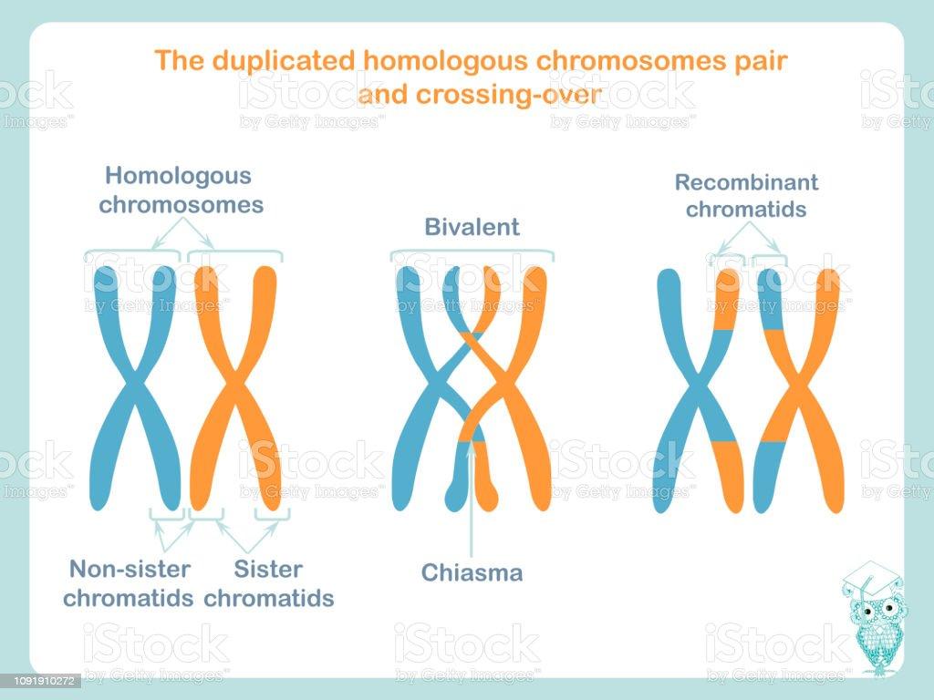 Geneettinen Rekombinaatio