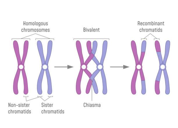 illustrazioni stock, clip art, cartoni animati e icone di tendenza di duplicated homologous chromosomes pair and crossing-over - tetrade