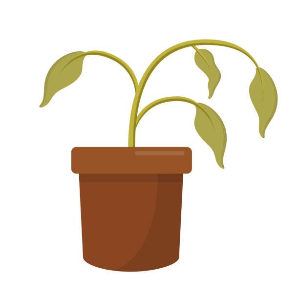 ilustrações de stock, clip art, desenhos animados e ícones de dying dry dead houseplant in a plant pot flat design icon isolated on white background - planta morta