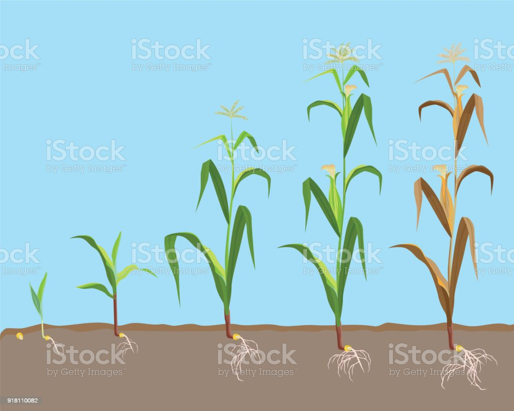 Dying plant of sweet corn from small sprout till dried plant, vector art illustration