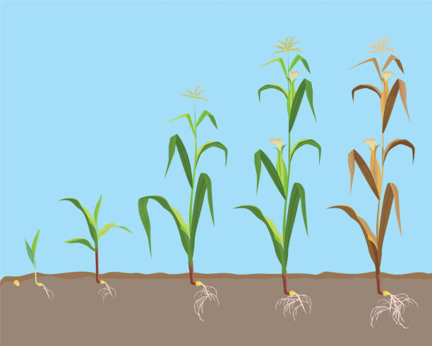 sterbende pflanze der zuckermais aus kleinen getrockneten pflänzchen, - mais stock-grafiken, -clipart, -cartoons und -symbole