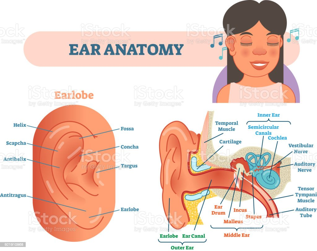 Ear Anatomy Medical Vector Illustration With Outer Middle And Inner ...