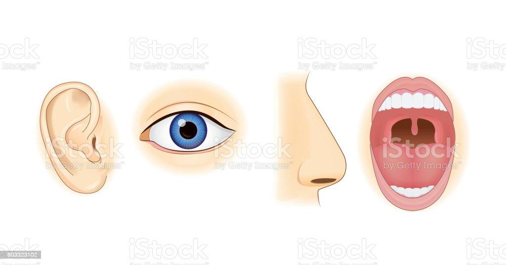 Ilustración de Oído Nariz Ojos Y Boca En Estilo Vectorial y más ...