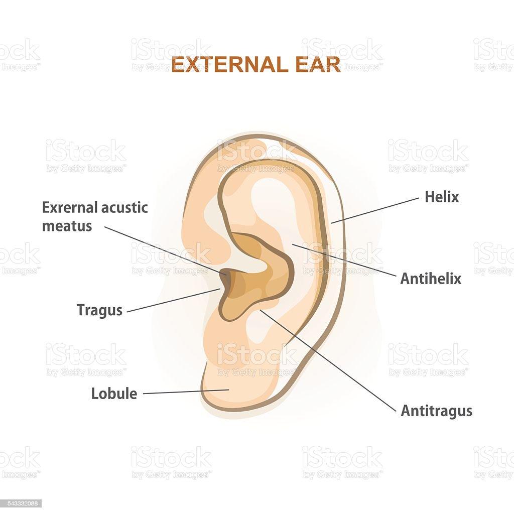 Ear Stock Vektor Art und mehr Bilder von Anatomie 543332088 | iStock