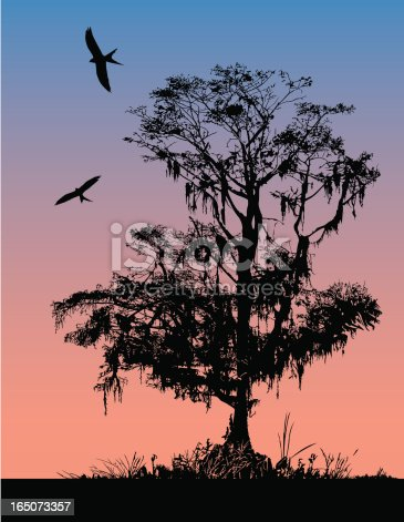 Silhouette of Cypress tree at morning or dusk.  Birds are swallowtail kites.  AI vs 10 included.