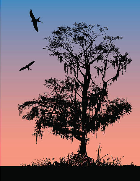 stockillustraties, clipart, cartoons en iconen met early morning cypress - cipres