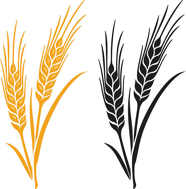 Ears of Wheat, Barley or Rye Ears of Wheat, Barley or Rye vector visual graphic icons, ideal for bread packaging, beer labels etc. wheat stock illustrations