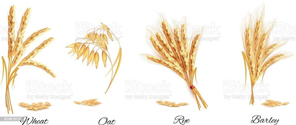 Ears of wheat, oat, rye and barley. Vector illustration. vector art illustration