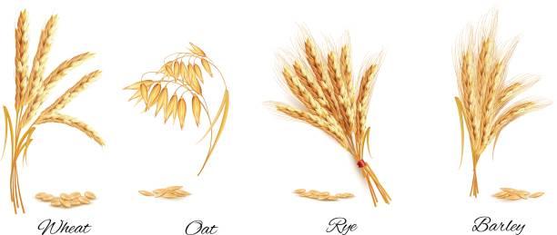 ilustrações de stock, clip art, desenhos animados e ícones de ears of wheat, oat, rye and barley. vector illustration. - ilustrações de oats