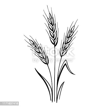 Hand drawn ears of wheat. Vector design elements isolated on a white background.
