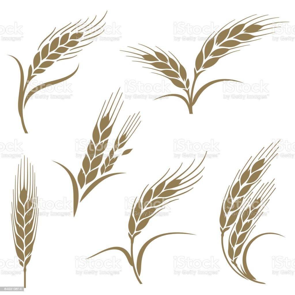 Ears Of Wheat Stock Vector Art & More Images of ...