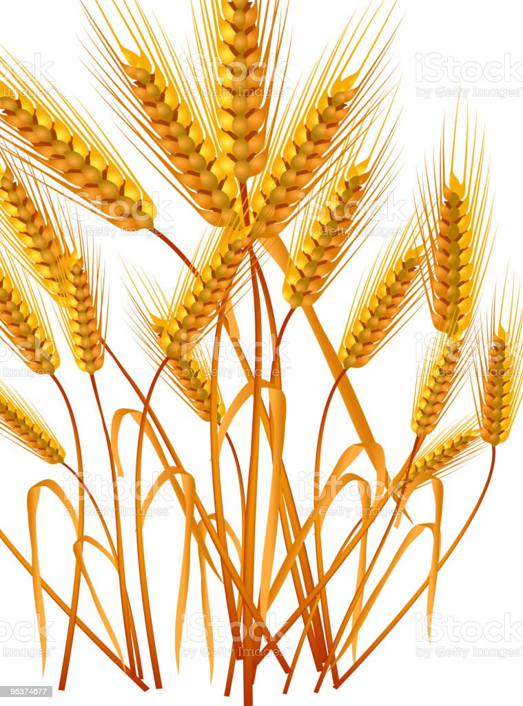Ears of wheat royalty-free ears of wheat stock vector art & more images of agriculture