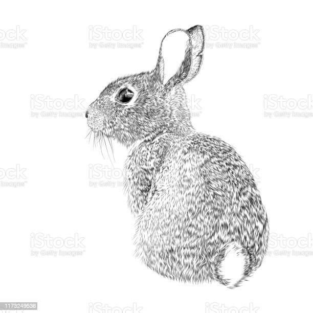 Osterhase Vektor Tinte Zeichnung Stock Vektor Art und mehr Bilder von Auge