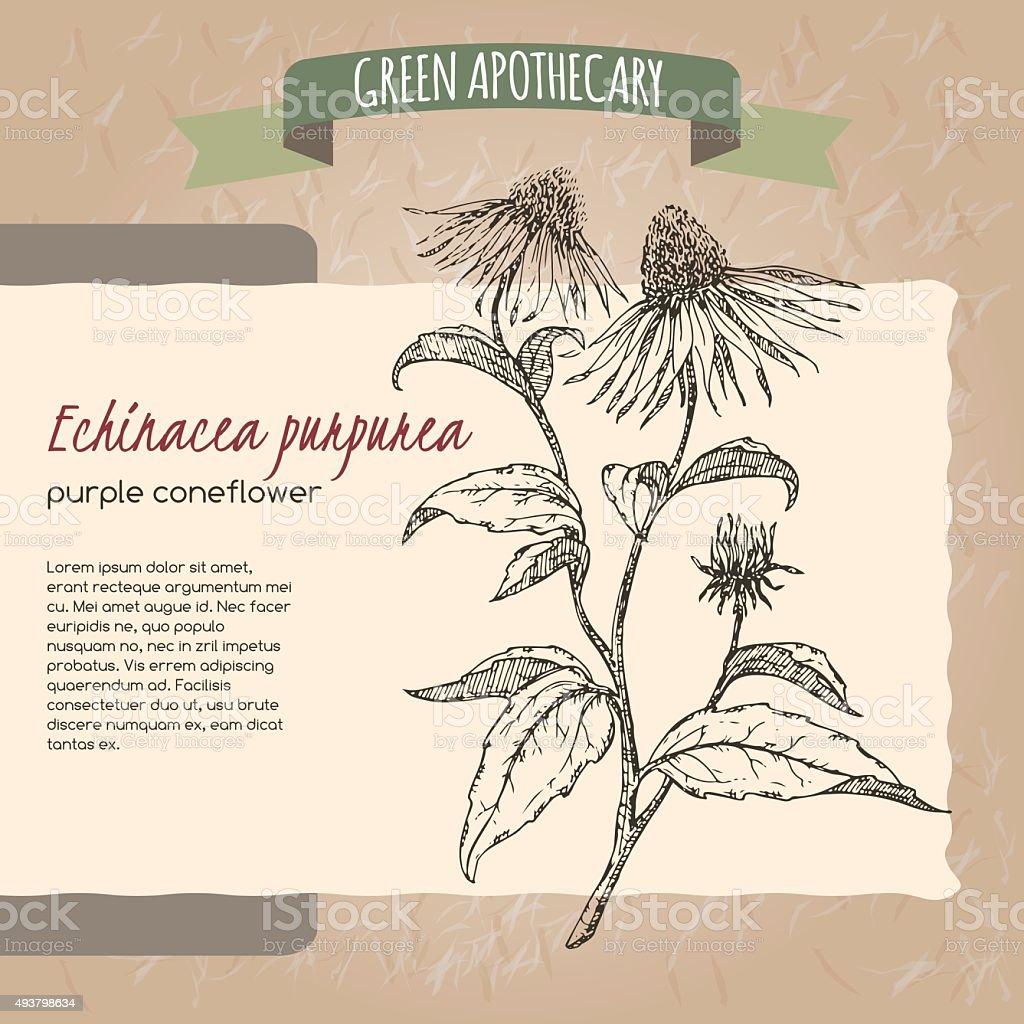 Echinacea aka purple coneflower  sketch vector art illustration