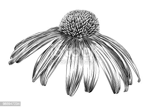 Echinacea Flower or Coneflower Pen and Ink Vector Drawing
