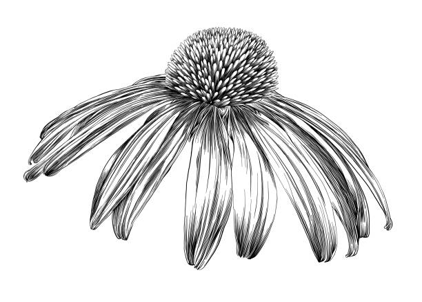 Drowings Imags: Royalty Free Coneflower Clip Art, Vector Images