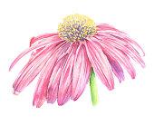 Echinacea Flower Watercolor Vector Iillustration