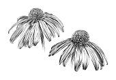 Echinacea Flowers Pen and Ink Vector Iillustration