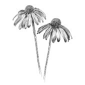 Echinacea Flowers Pen and Ink Vector Watercolor Illustration