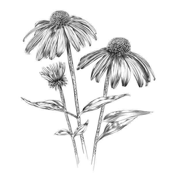 에키네시아 꽃 펜 및 잉크 벡터 수채화 그림 - 꽃 식물 stock illustrations