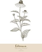 Vector hand drawn echinacea plant illustration.