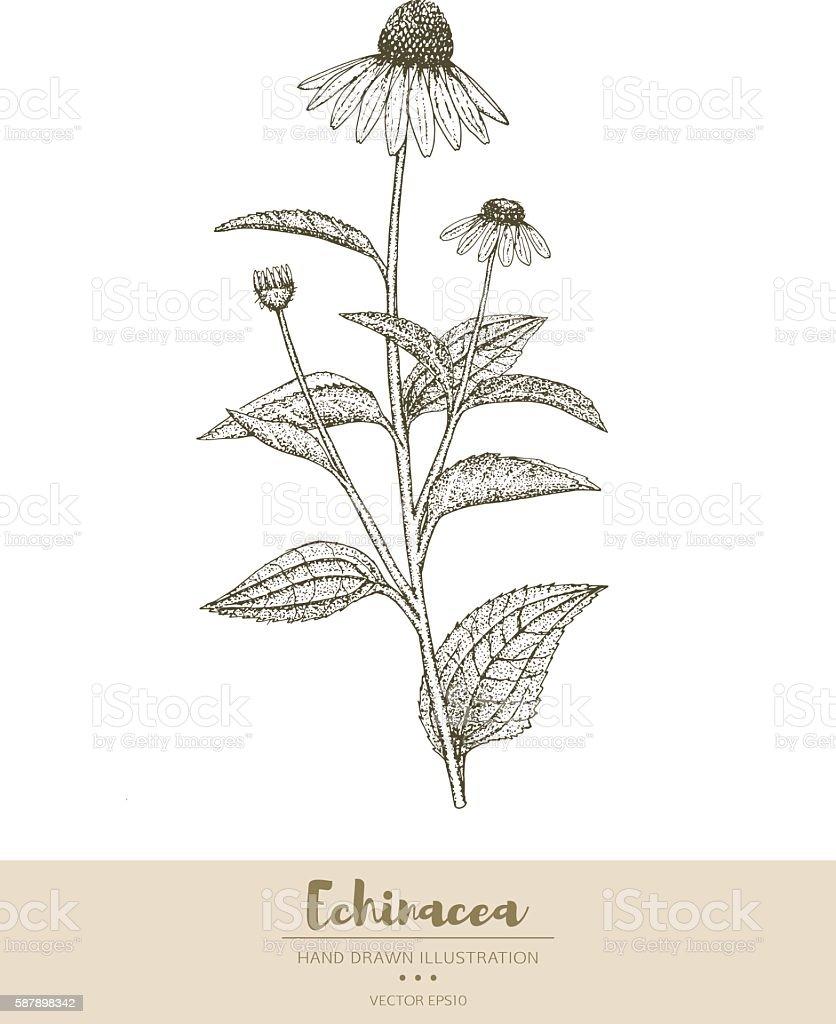 Echinacea illustration. vector art illustration