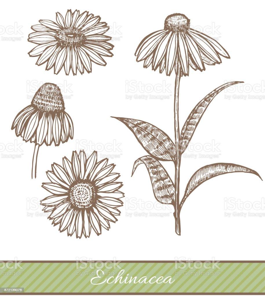 Echinacea in Hand Drawn Style. Vector Illustration vector art illustration