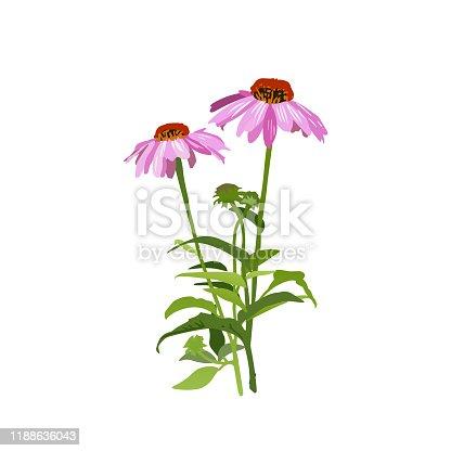 Echinacea Medicinal Plant