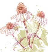 Floral background with hand drawn Purple Coneflower (Echinacea), grunge and color splashes.