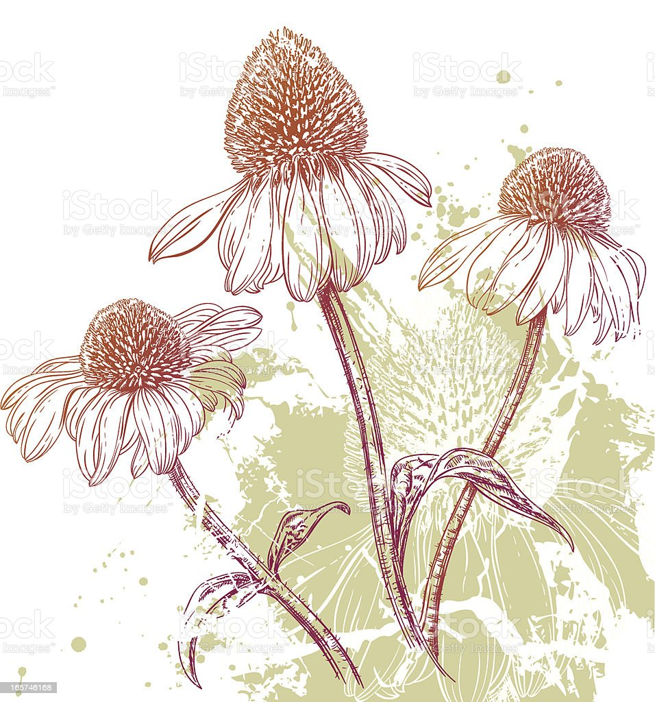 Echinacea Purple Coneflower Background vector art illustration