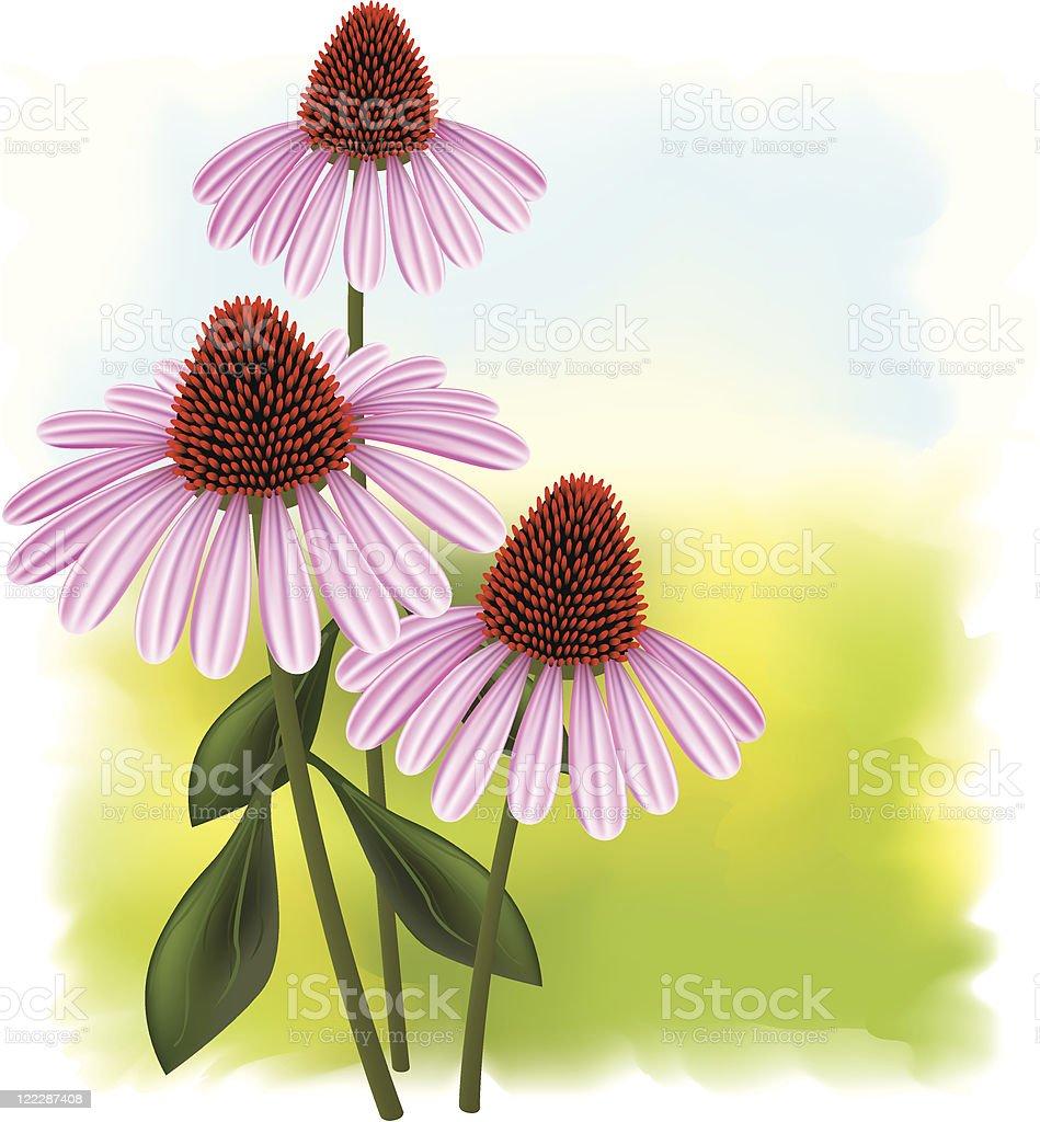 Echinacea purpurea. royalty-free stock vector art