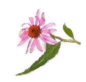 Echinacea purpurea (eastern purple coneflower or purple coneflower). Vector illustration.
