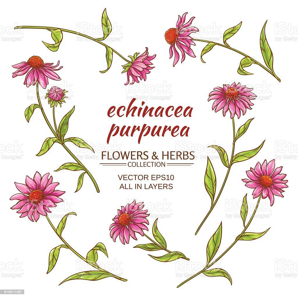 echinacea purpurea vector set vector art illustration
