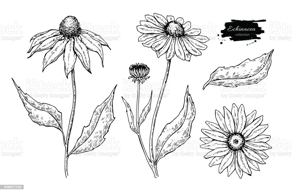 Echinacea vector drawing. Isolated flower and leaves. Herbal engraved style illustration. vector art illustration