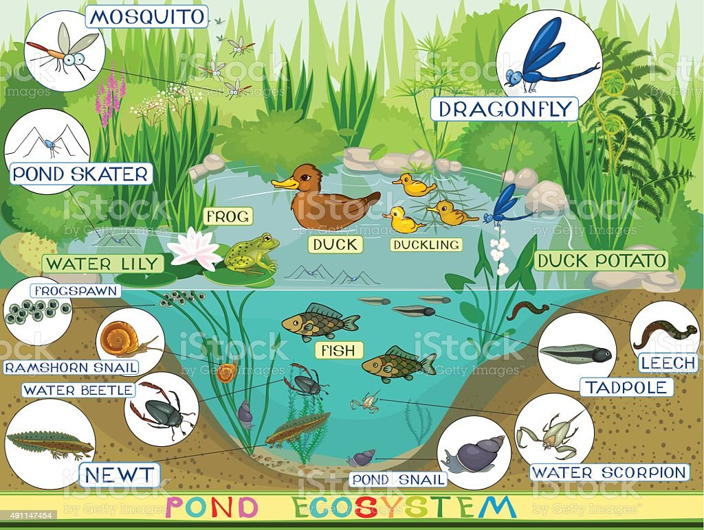 Ecosystem Of Pond Stock Illustration - Download Image Now ...