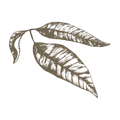 ector hand drawn botanical illustration with a Thai mango leaves. 3 engraved mango leaves