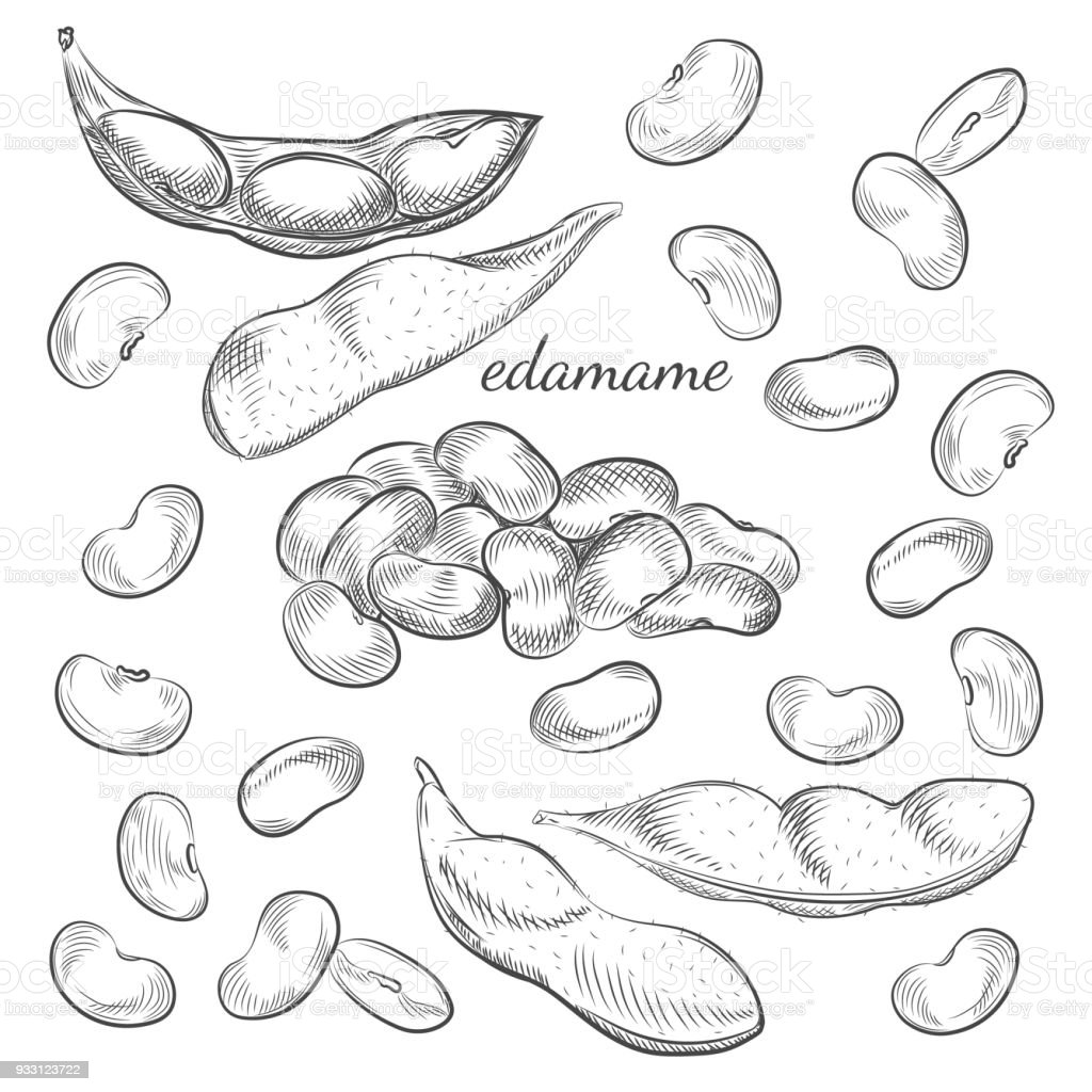 Edamame beans and pods isolated on white background. vector art illustration
