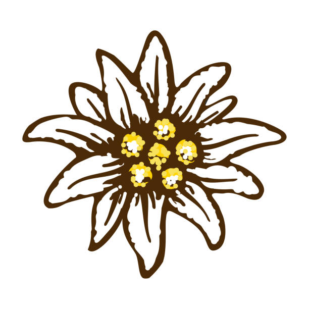 edelweiss flower symbol alpinism alps germany logo vector art illustration
