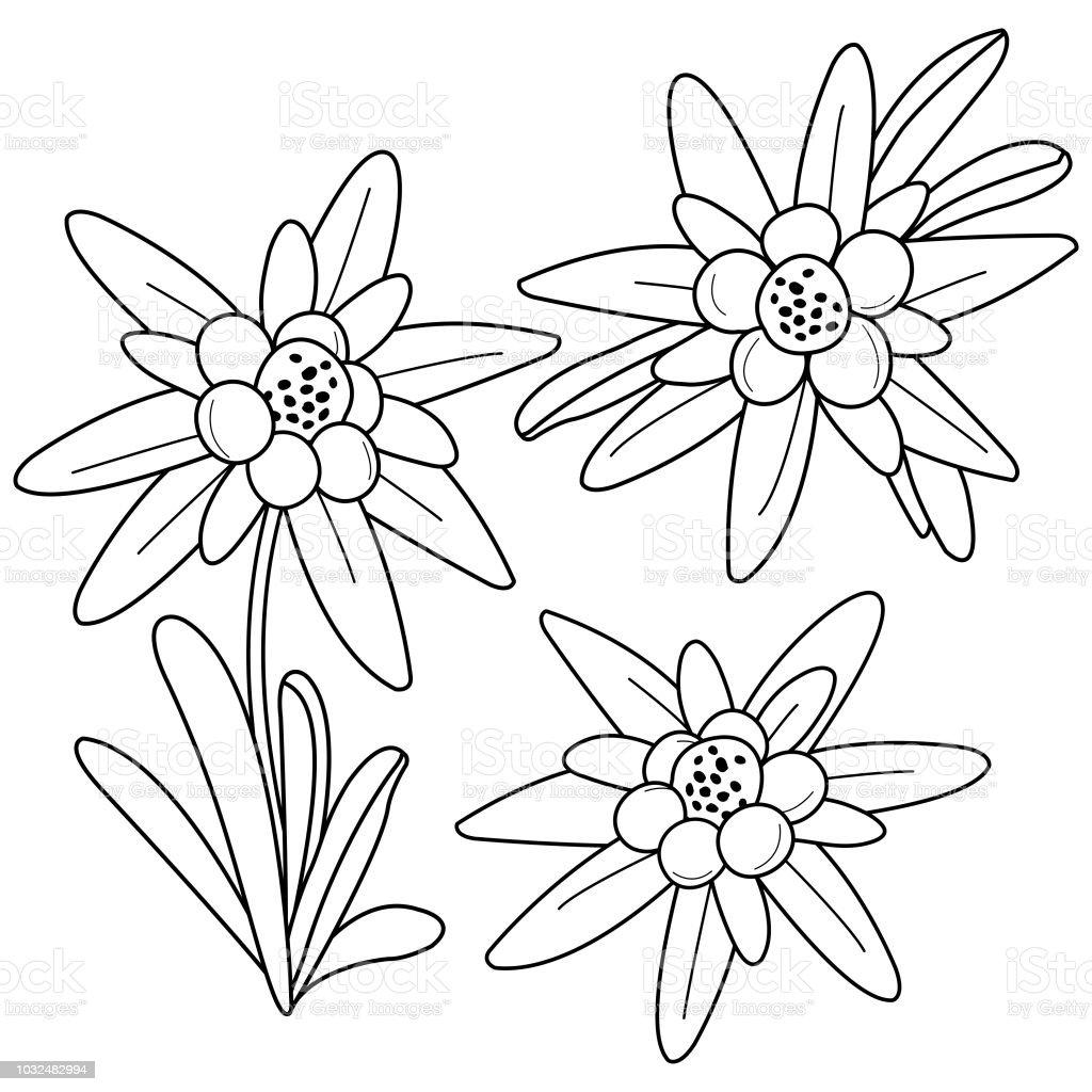 Vetores De Flores De Edelweiss Preto E Branco Para Colorir A