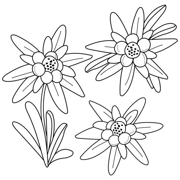 Edelweiss vectoriels et illustrations libres de droits istock - Coloriage fleur edelweiss ...