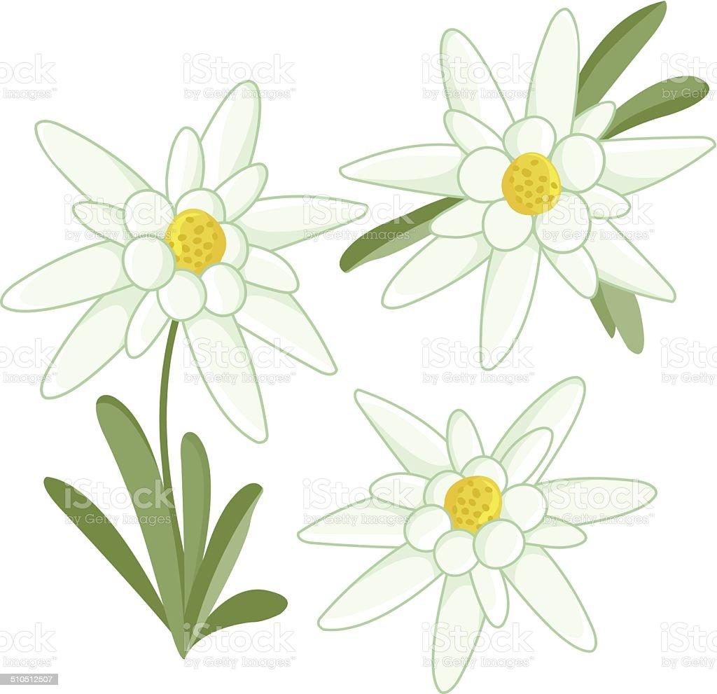 Coloriage Fleur Edelweiss.Edelweiss Fleurs Vecteurs Libres De Droits Et Plus D Images