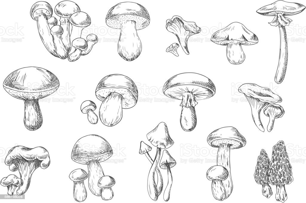 Edible and poisonous wild mushrooms, sketch style vector art illustration
