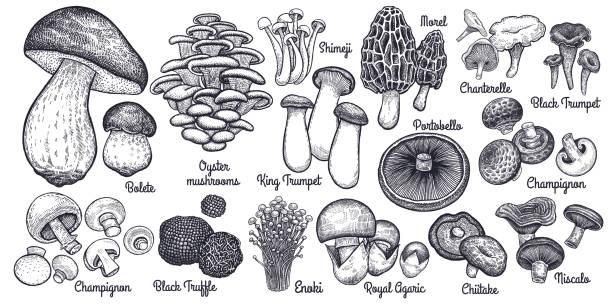 식용 버섯 큰 집합입니다. - 버섯 stock illustrations